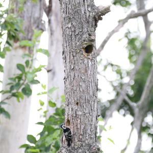 コアカゲラの巣③