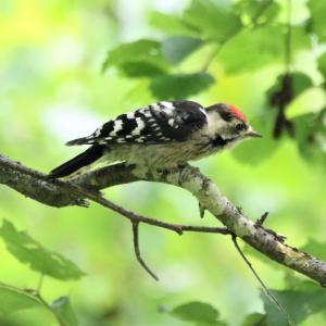 ヒヨドリ・コアカゲラ幼鳥