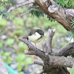 庭に来たシジュウカラ幼鳥