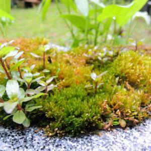 庭のあちこちが緑色、ついでにメダカも緑色…って一体どういうこと!?