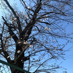 満開の桜とコロナの影響いろいろ
