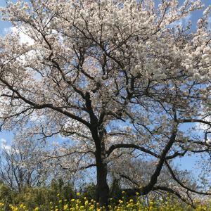 ひとりでちょこっと桜見てきた