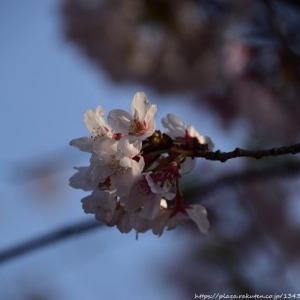 2020年~桜 その3 近況