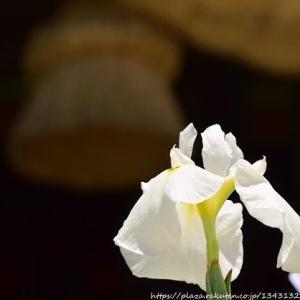 今回は江戸菖蒲祭り Ver.3