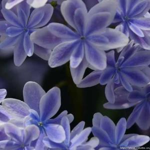 紫陽花展の写真でTeNQのお話