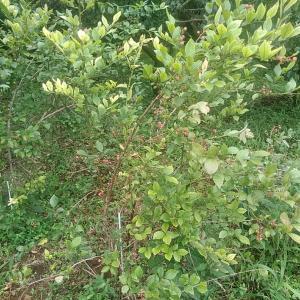 畑活 ブルーベリー収穫