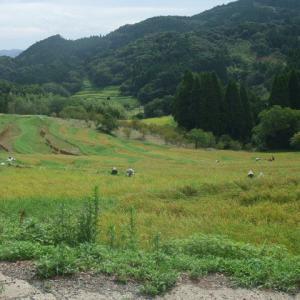 大山千枚田で稲刈り