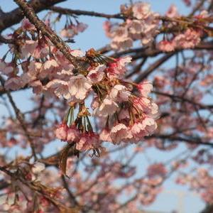 富楽里の桜とクジラの皮