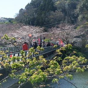 来週満開!佐久間ダムの桜まつり