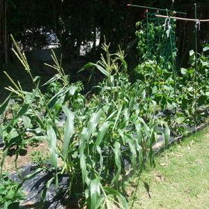 強風の家庭菜園