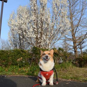 今春の最後の桜といっしょに