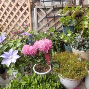 今日はポカポカと春日 チューリップも咲きだしました。