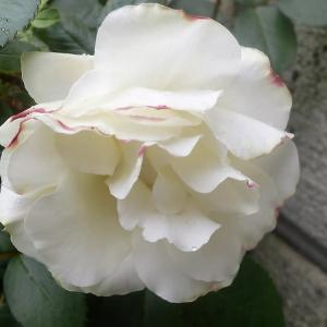 バラが咲き出しました。