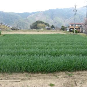 松本一本ネギ苗の収穫終了