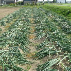 玉ねぎの収穫2020