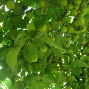 竜狭小梅の収穫