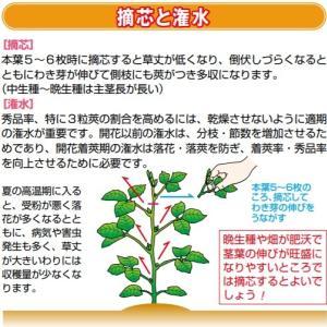 枝豆の摘心