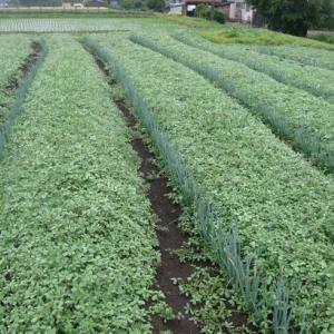 ネギ畑の草取り、土寄せ