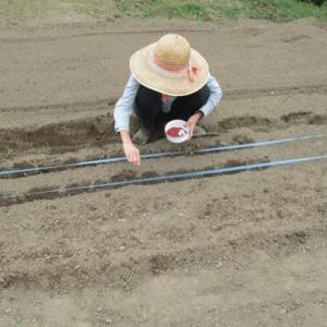 法蓮草を蒔きました。