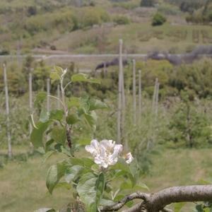 りんごの花と黒煙