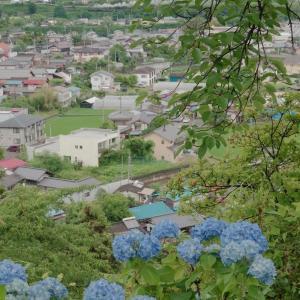青い紫陽花と