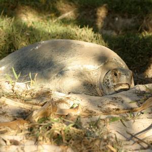 ヘロン島でウミガメの産卵を見る