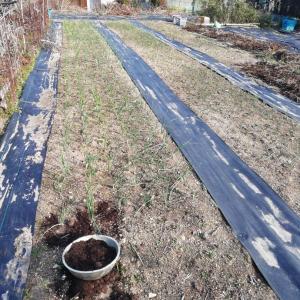 タマネギの追肥 牛糞堆肥マルチ