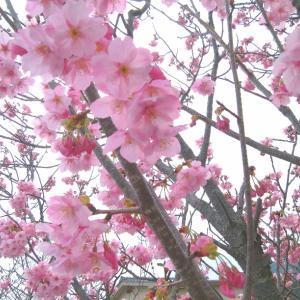 ネーブルの苗木