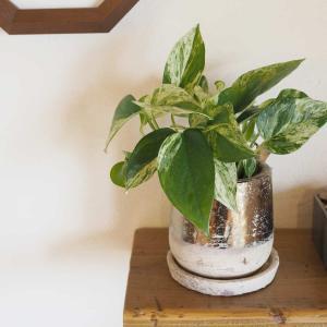 【育てやすい!おすすめ観葉植物3選】グリーンのある暮らしのメリットとデメリット
