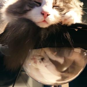 たい焼きを食べる猫