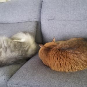 ソファーで寝るムスコーずともふもふ動画