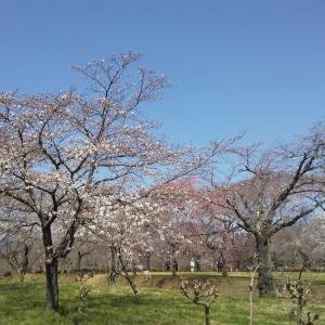 きょうの芝桜の丘の桜♪