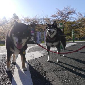 秩父羊山公園内駐車場は封鎖中!