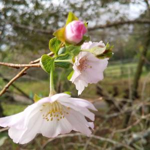 十月桜が見頃です(^^)