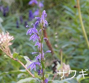 花の入笠山③
