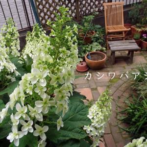 梅雨が近いのかな│カシワバアジサイの季節