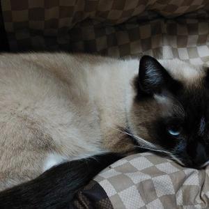 暖かい雨の一日。シャムミックス、ライの寝姿