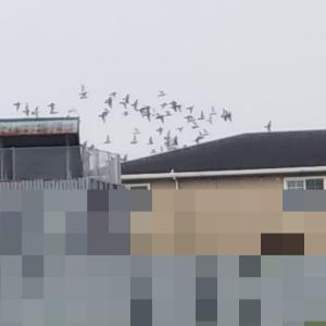 レース鳩の放鳥