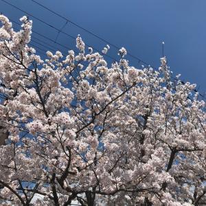 桜 満開(✿´꒳`)ノ°*❀