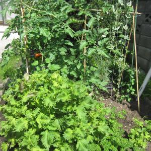 家庭菜園…絶好調!