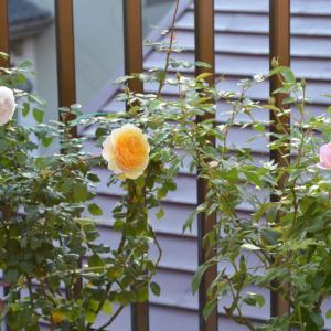 秋バラがゆっくりと咲いています(^^)