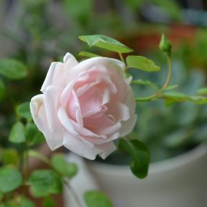 ニュードーンが咲きました~(^.^)