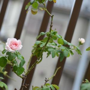 ピンクのバラ&羊毛フェルト・ボンとコタロウ