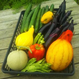 この長雨で夏野菜は、、、