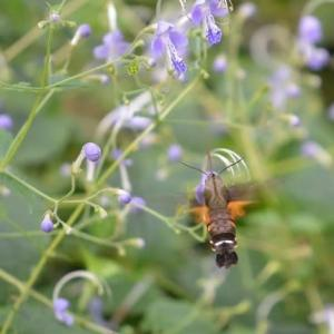 昭和記念公園こもれびの丘 ホウジャクとクマバチが飛んできます   8