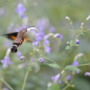 昭和記念公園こもれびの丘 ホウジャクの吸蜜の姿を見ることができます 9