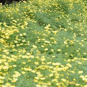 昭和記念公園原っぱ東花畑はレモンブライトが一面です 12
