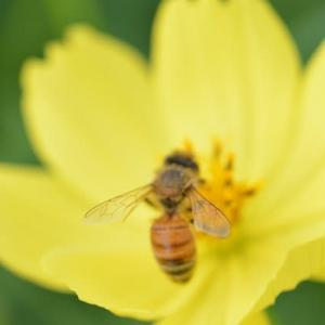 昭和記念公園原っぱお花畑の蜂とコスモスを下から見上げる 14