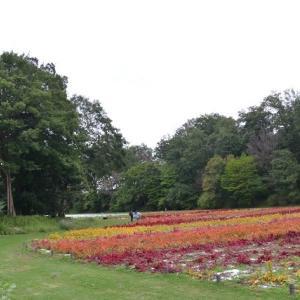 国営武蔵丘陵森林公園 運動広場には一面ケイトウが咲いています 8