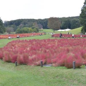 国営武蔵丘陵森林公園 運動広場には一面のコキアが咲いています 9